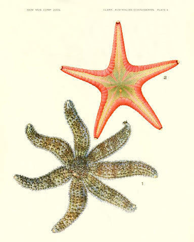 Starfish (Pl. 8) -  Vintage Reproduction - McGaw Graphics