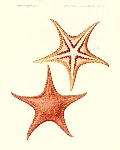Starfish (Pl. 3) -  Vintage Reproduction - McGaw Graphics