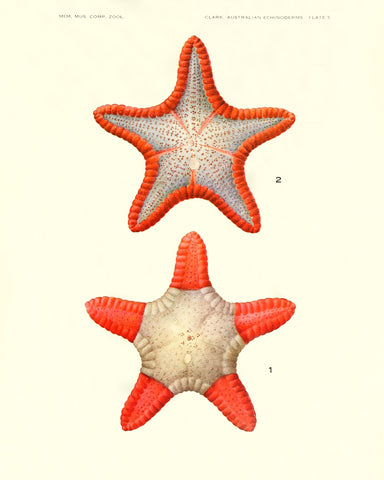 Starfish (Pl. 5) -  Vintage Reproduction - McGaw Graphics