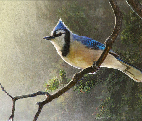 Early Bird Blue Jay -  Chris Vest - McGaw Graphics