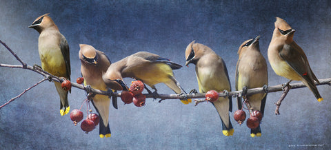 Waxwings Winter -  Chris Vest - McGaw Graphics