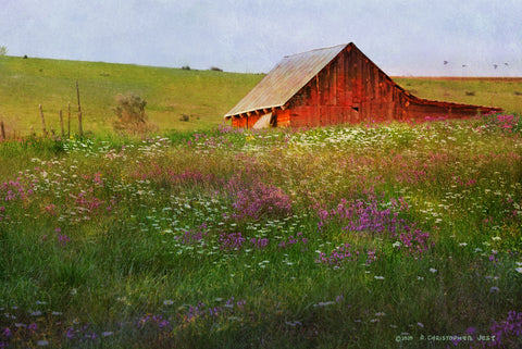 Field of Daisies and Locoweed -  Chris Vest - McGaw Graphics