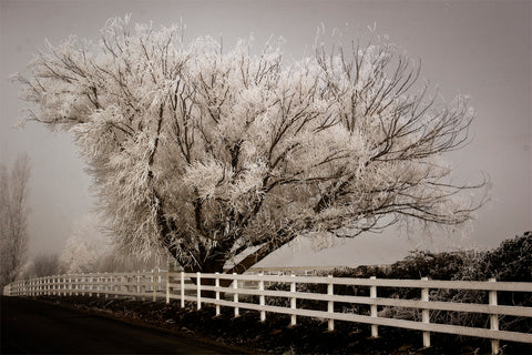 David Lorenz Winston - Frosted Tree & Fence