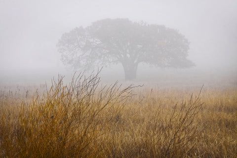Tree in Fog -  David Lorenz Winston - McGaw Graphics
