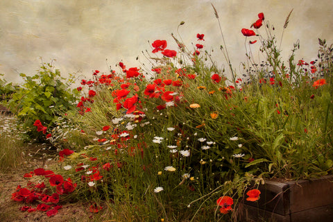 Poppy Garden -  David Lorenz Winston - McGaw Graphics