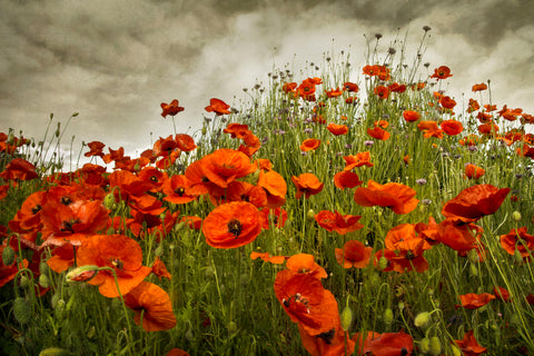 Bobbi's Poppies -  David Lorenz Winston - McGaw Graphics