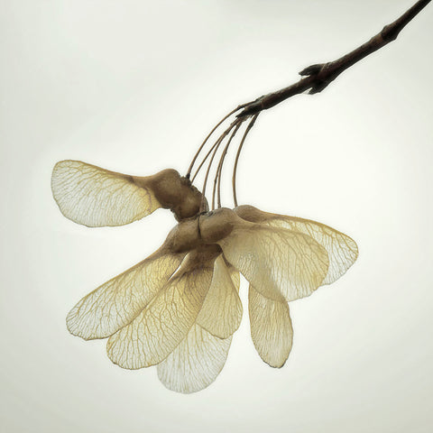 Maple Seedpods -  David Lorenz Winston - McGaw Graphics