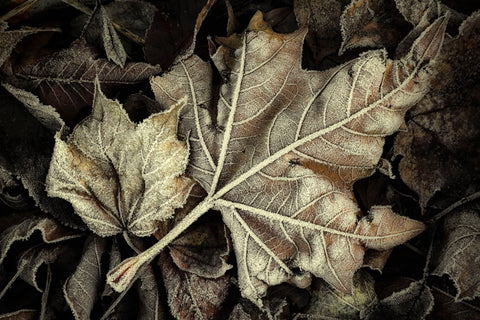 Frosted Leaves -  David Lorenz Winston - McGaw Graphics