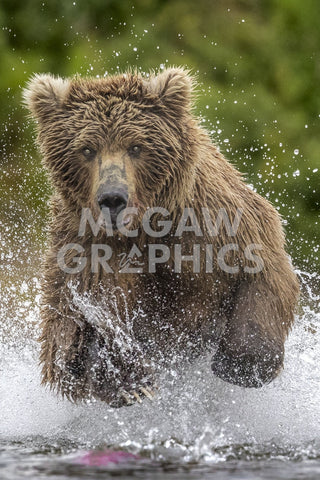 Alaska Bear -  Art Wolfe - McGaw Graphics