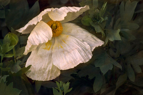 Romenya Coulteri Poppy -  David Lorenz Winston - McGaw Graphics