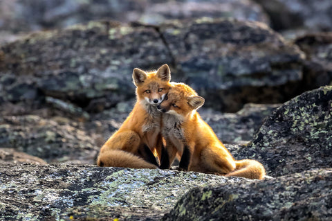 Art Wolfe - Red Foxes, Nunavik, Quebec, Canada