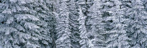Evergreen forest, Mount Rainier National Park, Washington -  Art Wolfe - McGaw Graphics