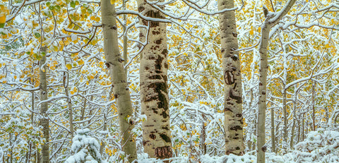 Aspen forest, Colorado -  Art Wolfe - McGaw Graphics