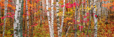 Autumn colors in the Superior National Forest, Minnesota -  Art Wolfe - McGaw Graphics