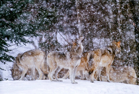 Art Wolfe - Grey wolves in Boreal Forest, Canada