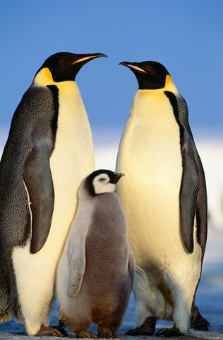 Art Wolfe - Emperor Penguins with Chick, Antarctica