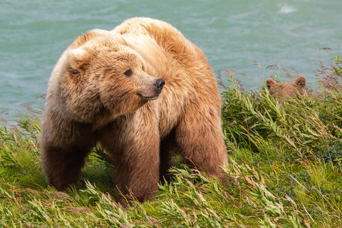 Brown Bear with Cub, Alaska -  Art Wolfe - McGaw Graphics