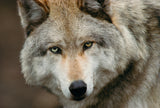 Grey Wolf, Montana -  Art Wolfe - McGaw Graphics