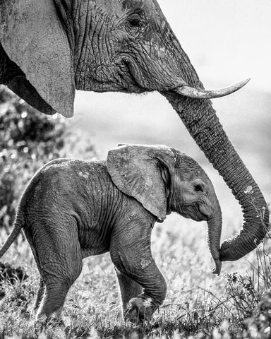 African Elephant with Calf -  Art Wolfe - McGaw Graphics