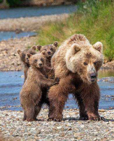 Hanging with Mom - Alaska Brown Bears