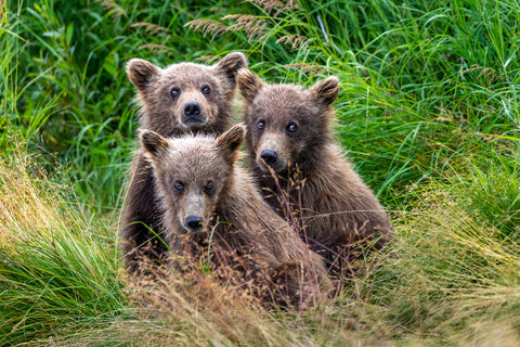 Three Amigos - Alaska Brown Bears