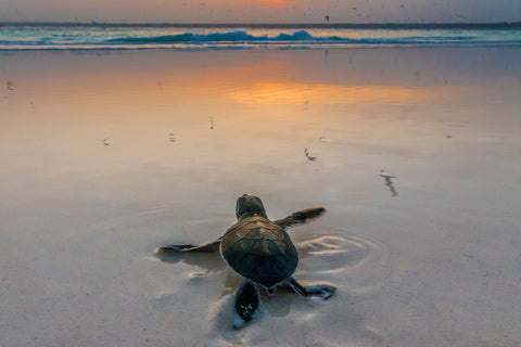 Green Sea Turtle, Mnemba Island, Tanzania I -  Art Wolfe - McGaw Graphics