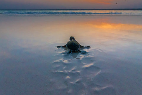 Green Sea Turtle, Mnemba Island, Tanzania II -  Art Wolfe - McGaw Graphics