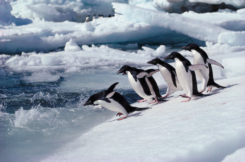 Adelie Penguins, Antarctica -  Art Wolfe - McGaw Graphics
