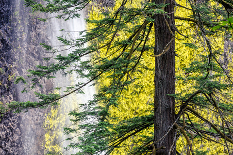 Latourell Falls and Douglas Fir, Columbia River Gorge, Oregon -  Art Wolfe - McGaw Graphics
