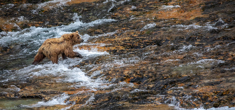 Brown Bear, Katmai National Park, Alaska -  Art Wolfe - McGaw Graphics