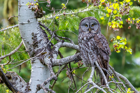 Great Gray Owl, Washington -  Art Wolfe - McGaw Graphics