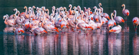 Chilean Flamingos, Patagonia, Chile -  Art Wolfe - McGaw Graphics