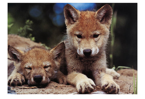 Spring Wolf Pups -  Art Wolfe - McGaw Graphics