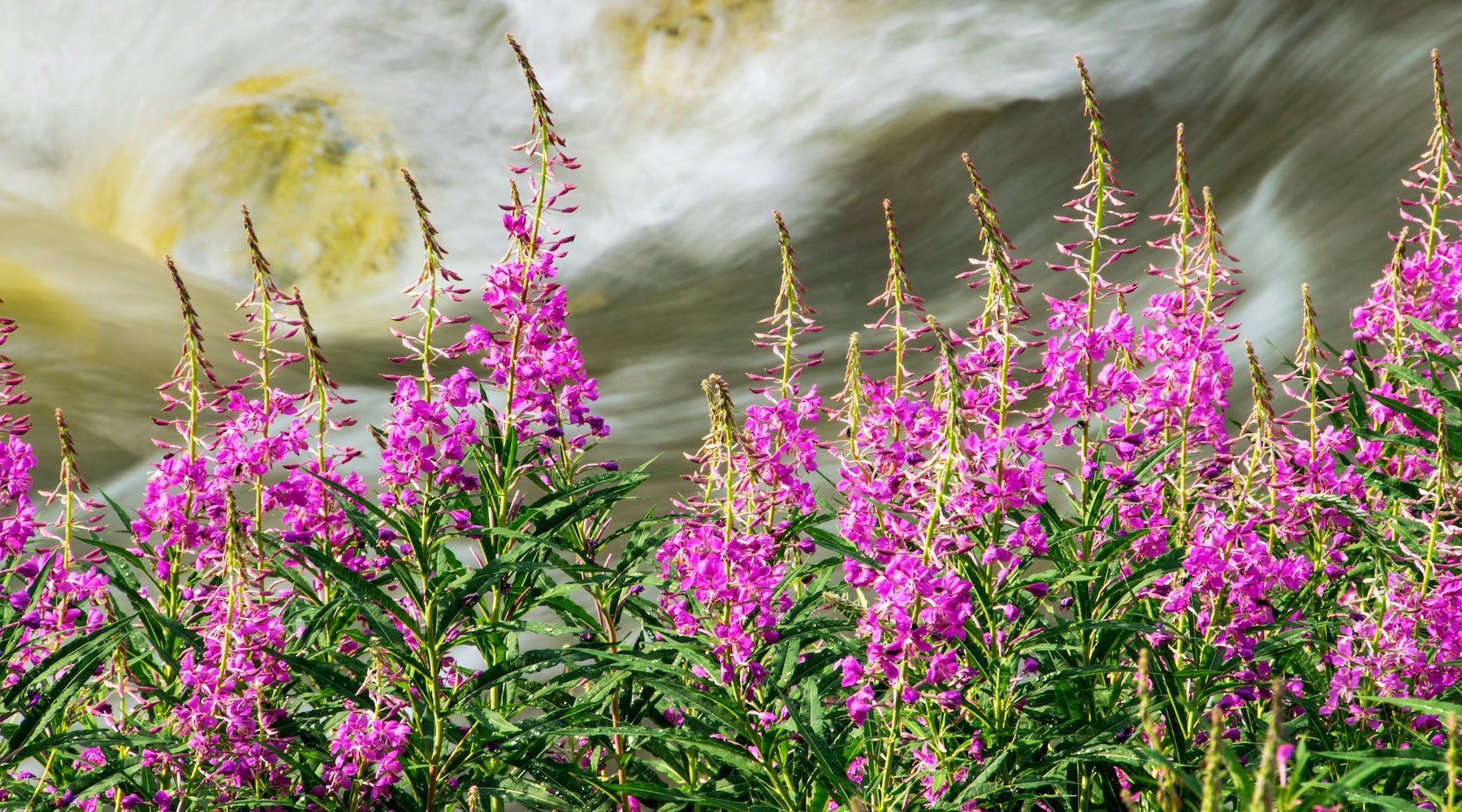 FIREWEED FLOWER ESSENCE
