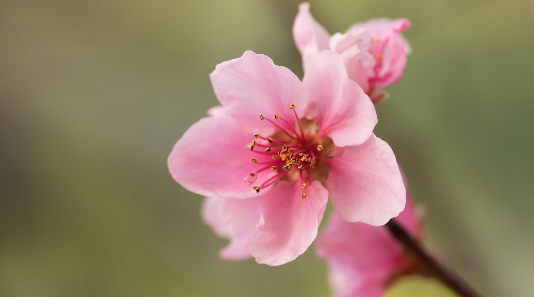 nectarine blossom LOTUSWEI flower essences