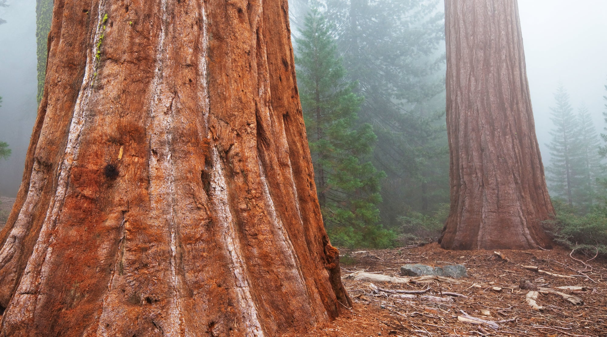 REDWOOD TREE ESSENCE
