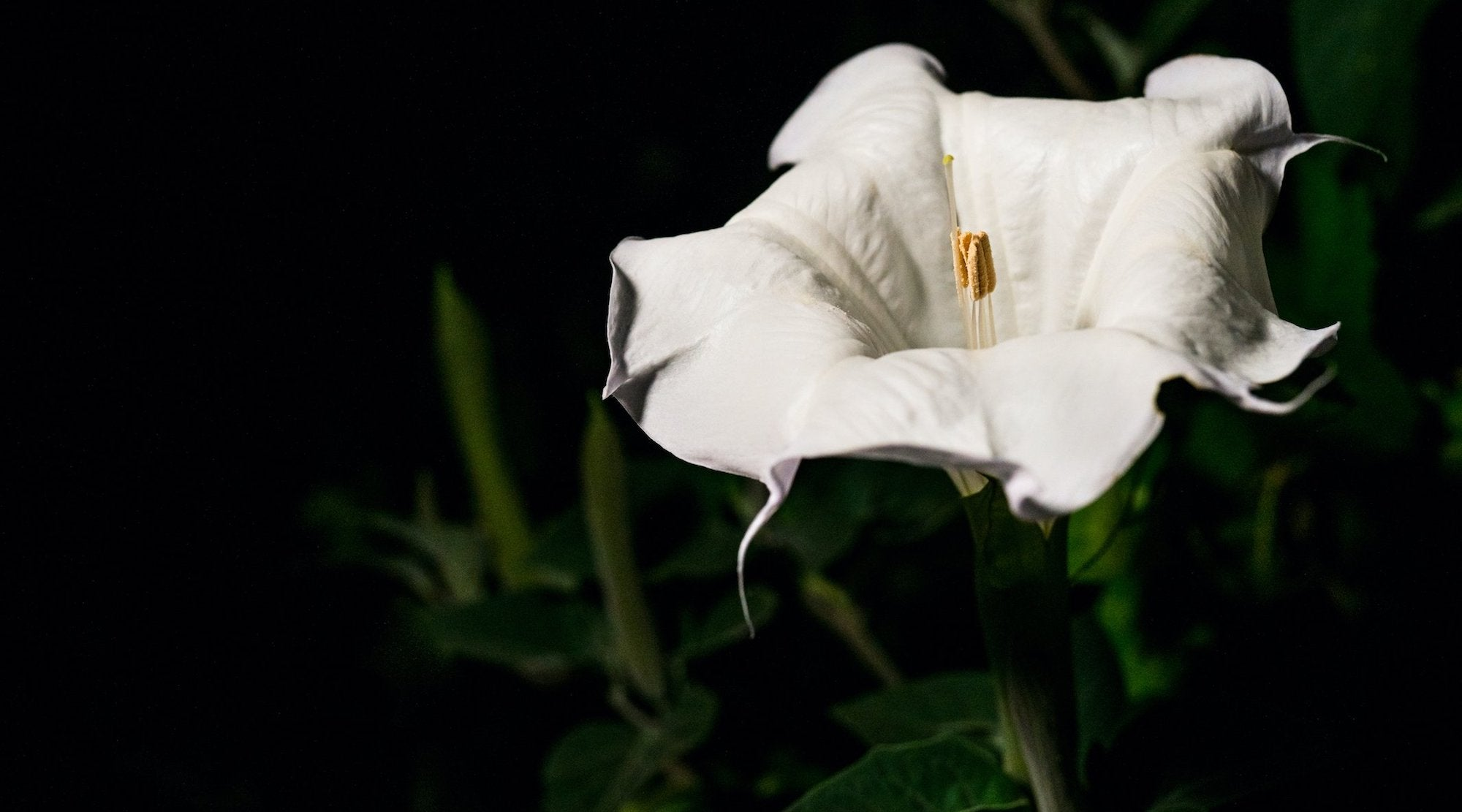 SACRED DATURA FLOWER ESSENCE