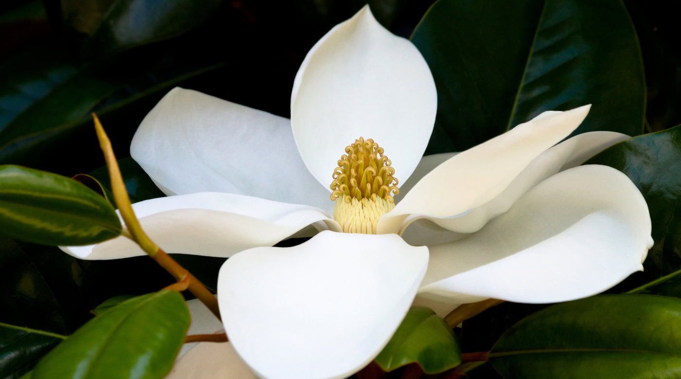 White magnolia you are divine lotuswei white magnolia lotuswei flower essences mightylinksfo