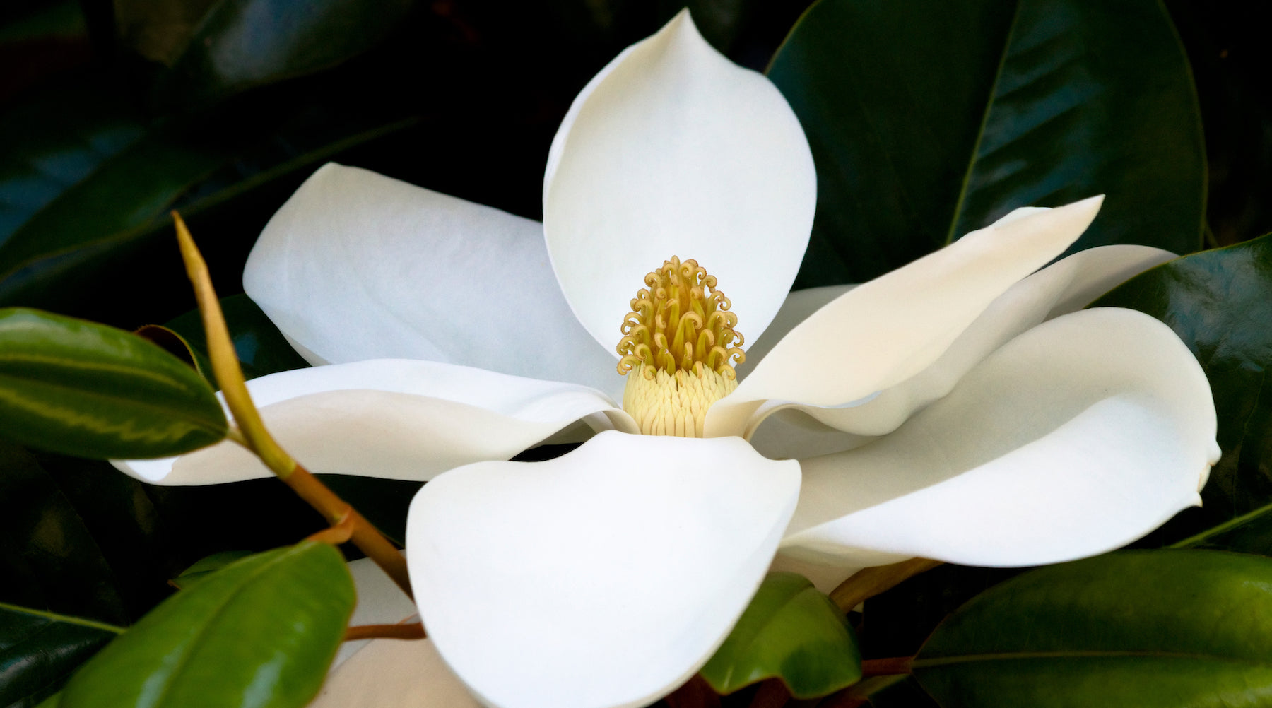white magnolia LOTUSWEI flower essences