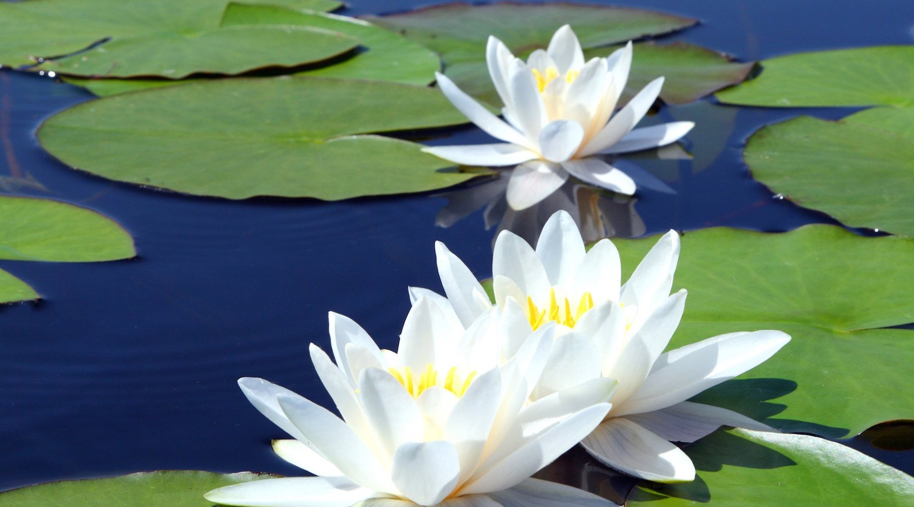 {WHITE WATER LILY} SHARPENED SENSES. ACUITY OF VISION. SYNCHRONICITY.