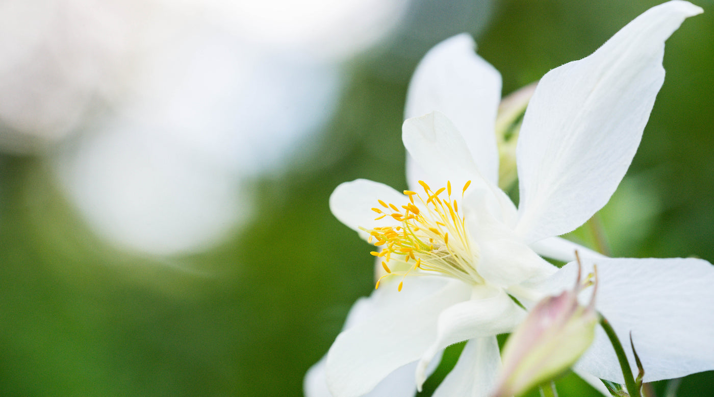 White columbine divine feminine elegance godmotherly love lotuswei white columbine flower essence lotuswei izmirmasajfo