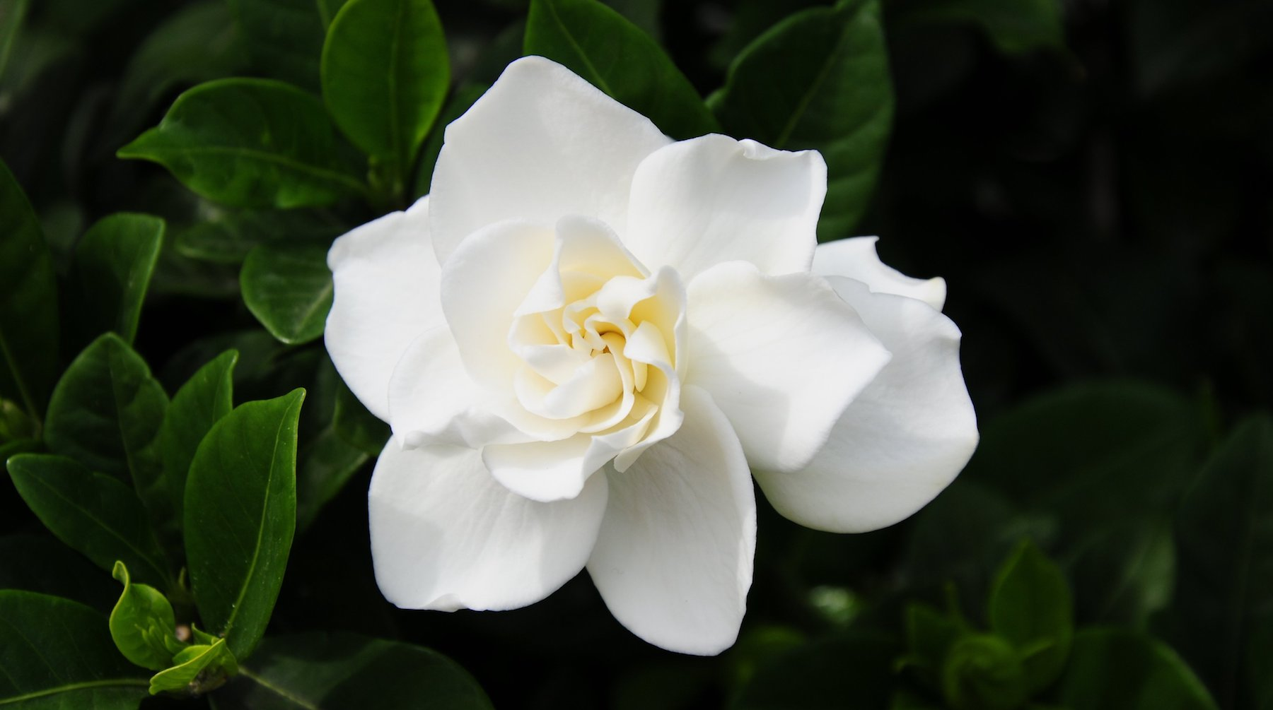 gardenia LOTUSWEI flower essences