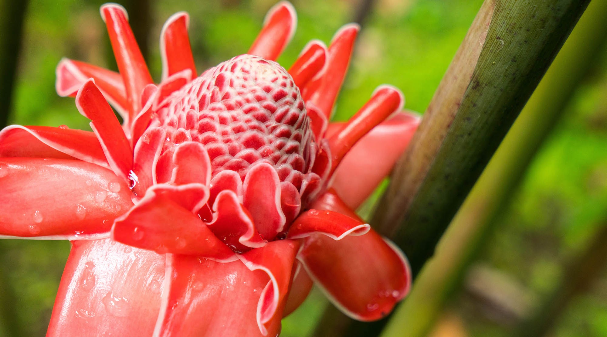 pink torch ginger flower essence LOTUSWEI flower essences