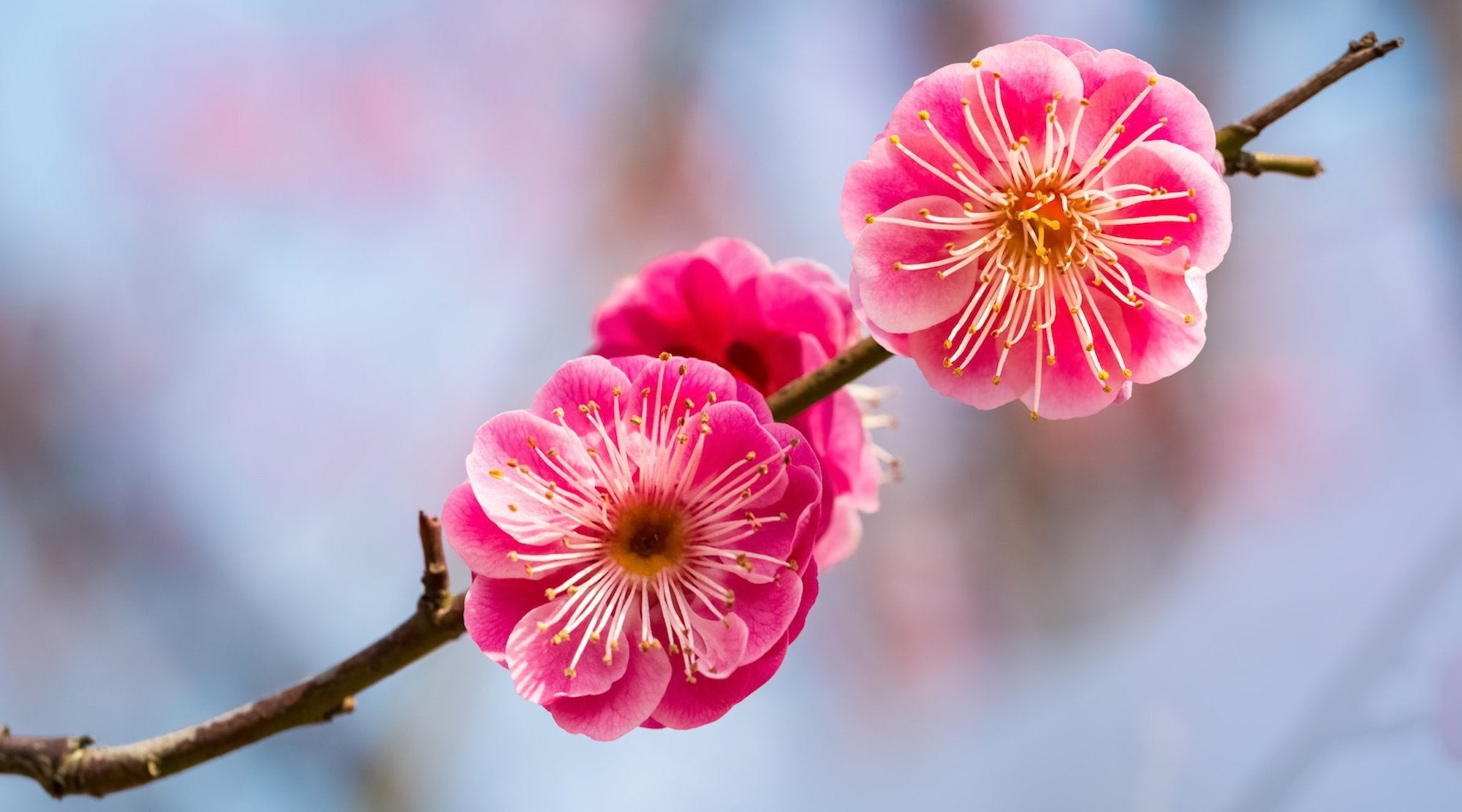 BONSAI PLUM FLOWER ESSENCE