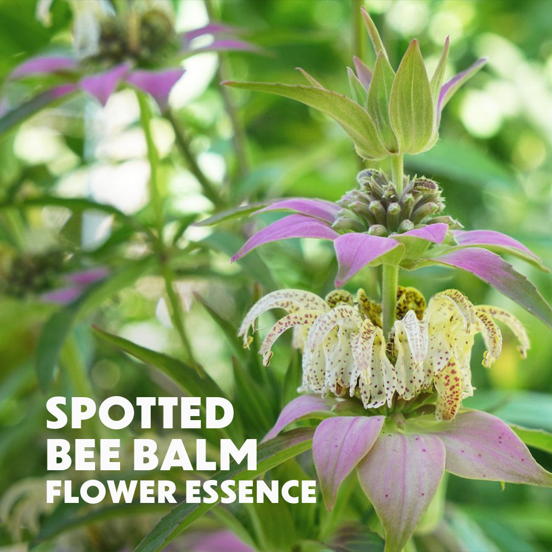 Spotted Bee Balm Flower Essence