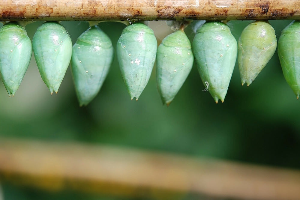 green cocoons LOTUSWEI flower essences