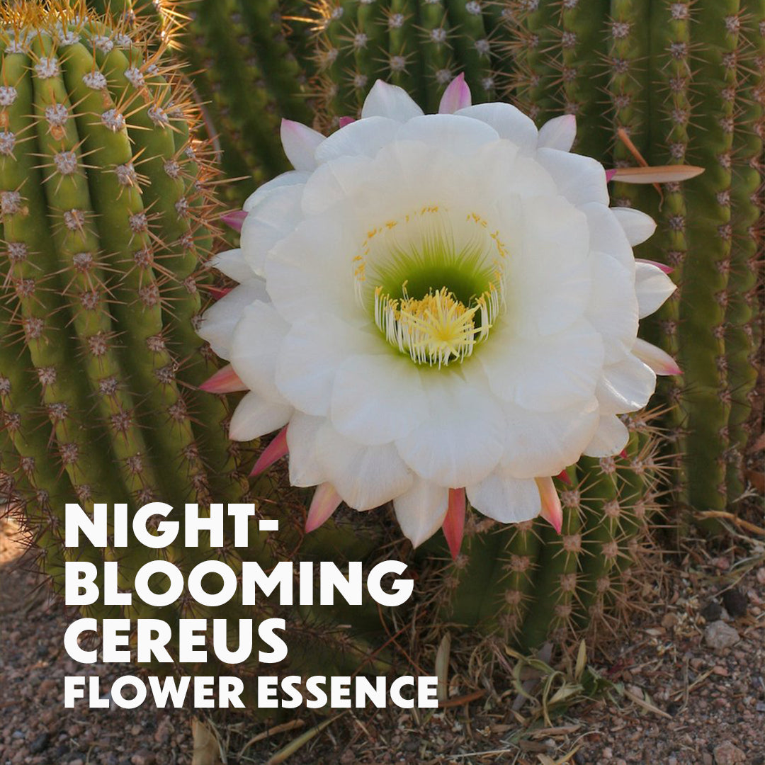 Night-Blooming Cereus Flower Essence