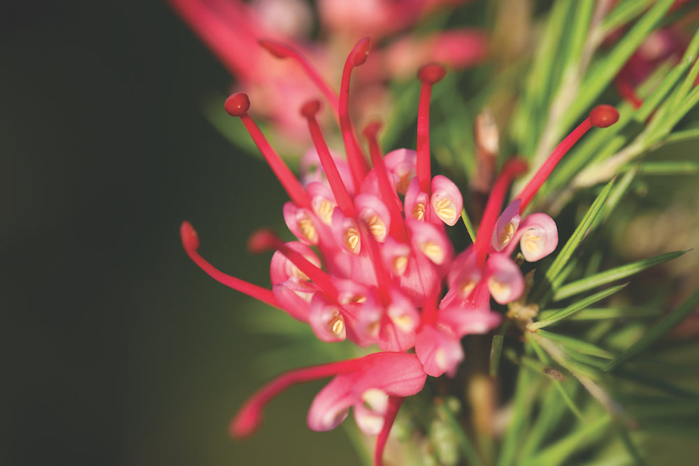 grevillea LOTUSWEI flower essence