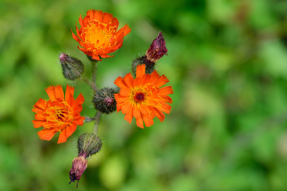 orange hawkweed LOTUSWEI flower essences