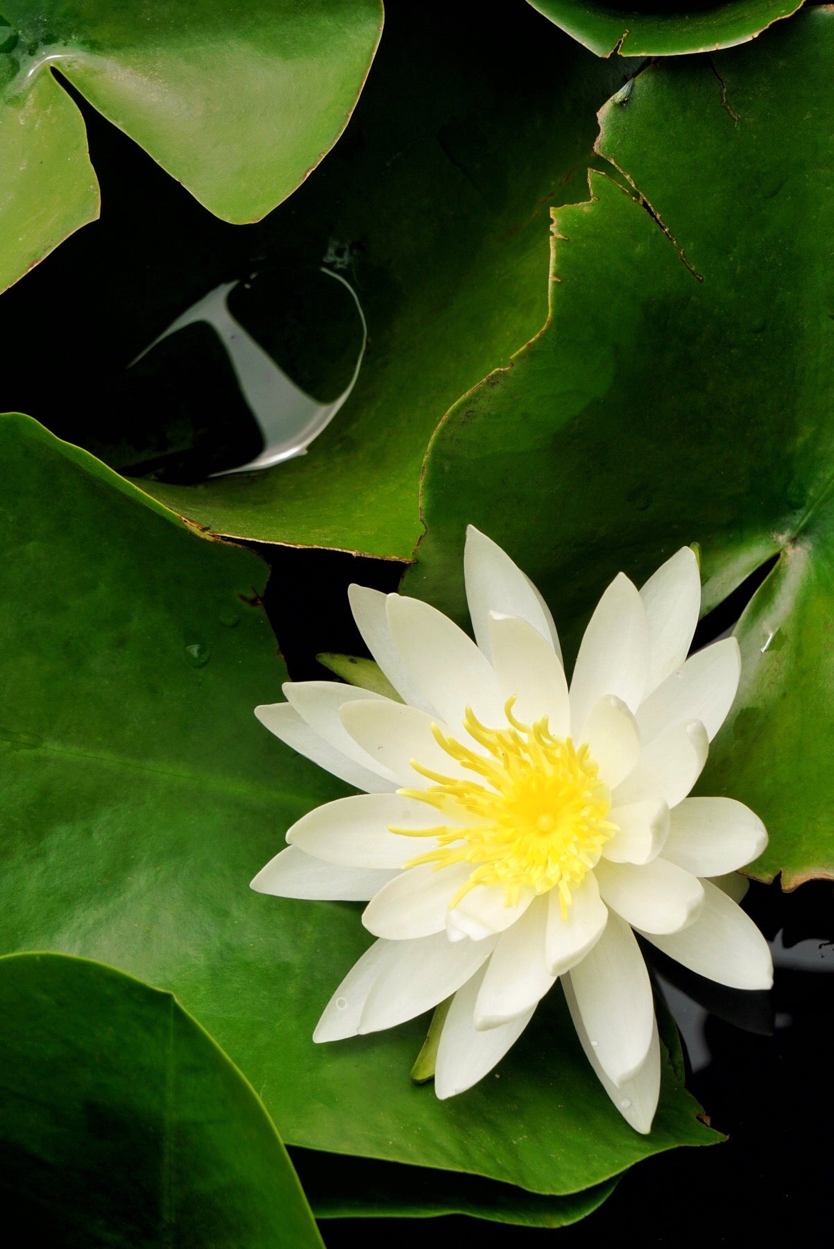 white water lily flower essence LOTUSWEI flower essences
